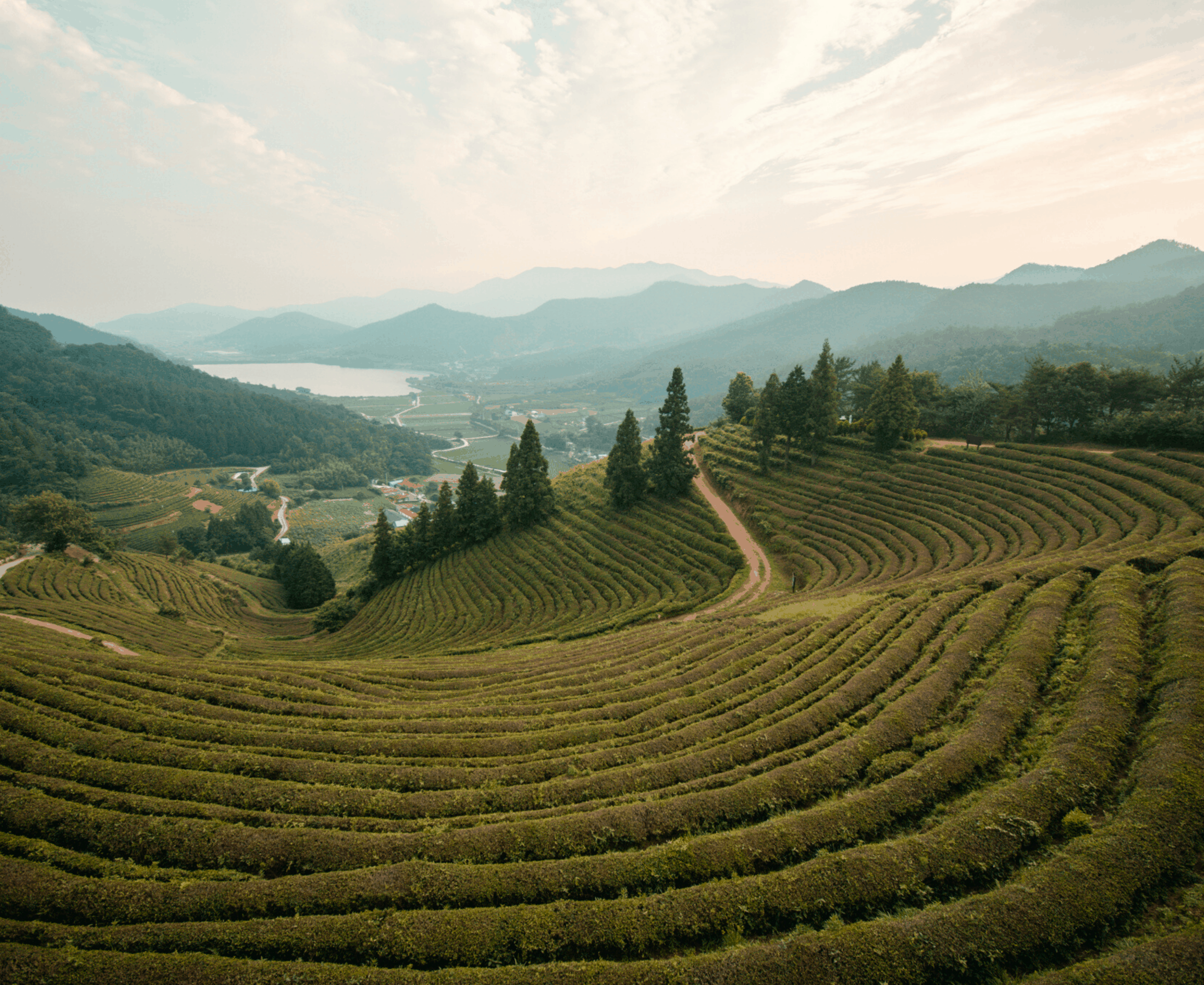 Boseong Green Tea Fields: How and When to Visit
